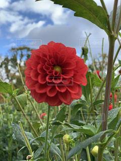 華麗な赤色のダリアの写真・画像素材[4876072]
