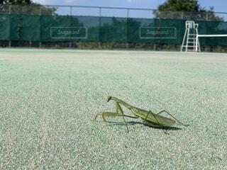 テニスコートの脇を散歩中のカマキリの写真・画像素材[4876458]