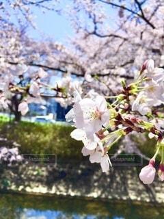 川沿いに咲いてた桜の写真・画像素材[4880287]