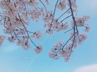 青空に浮かぶ満開の桜の写真・画像素材[4880952]