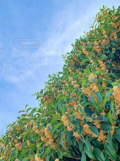 秋といえば、この甘い香り。の写真・画像素材[4898111]