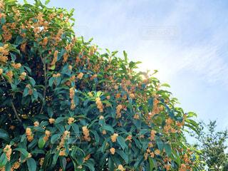 秋といえば、この甘い香り。の写真・画像素材[4898471]