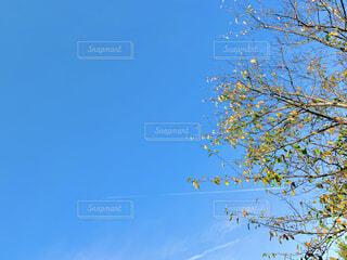 秋空と桜の木の写真・画像素材[4908216]