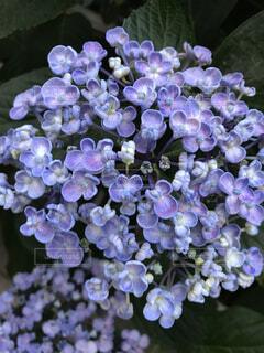 アジサイ(紫)の写真・画像素材[4875681]