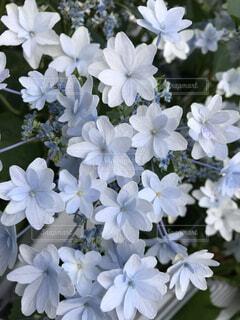 アジサイ(青)の写真・画像素材[4875673]