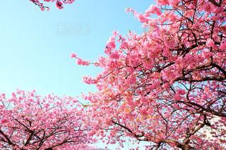 桜 - No.226598