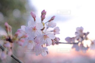 No.226599 桜