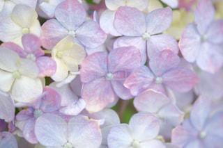 紫陽花 - No.479371