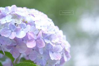紫陽花 - No.556404