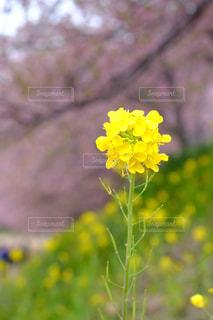 菜の花 - No.1036728