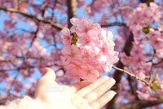 桜 - No.1036730