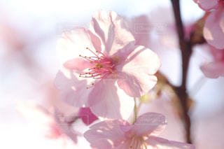桜の写真・画像素材[1036731]