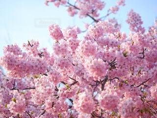 桜の写真・画像素材[1036732]