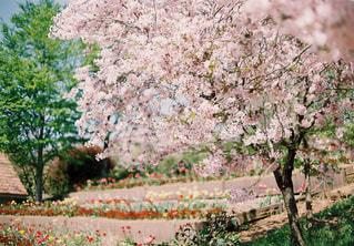 桜の写真・画像素材[1742244]