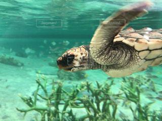 水の下で泳ぐカメの写真・画像素材[4939129]