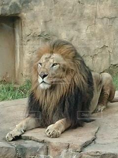 寝そべるライオンの写真・画像素材[4919753]