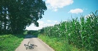 夏空とトウモロコシ畑と自転車の写真・画像素材[4922058]