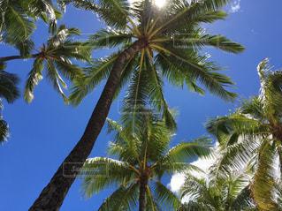 ヤシの木の写真・画像素材[228398]