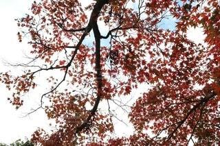 下から見上げた紅葉の葉の写真・画像素材[4943650]