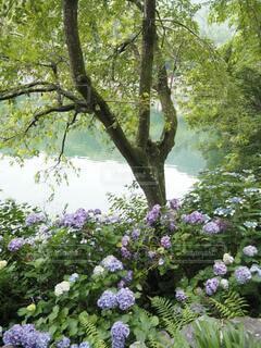 池と紫陽花の写真・画像素材[4950705]