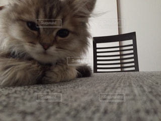 猫の写真・画像素材[224455]
