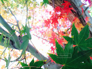 紅葉の写真・画像素材[901958]