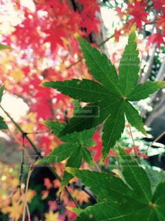 赤と緑の葉の木の写真・画像素材[901959]