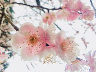梅の花の写真・画像素材[1066811]