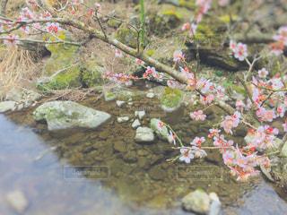 川辺の梅の花の写真・画像素材[1066830]