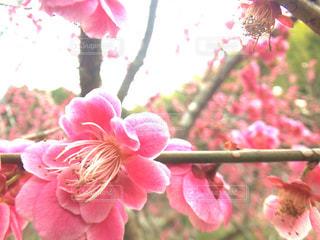 ピンクの花のアップの写真・画像素材[1109536]