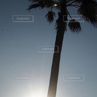 ヤシの木の写真・画像素材[1309766]