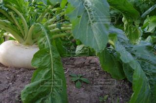野菜の写真・画像素材[262213]