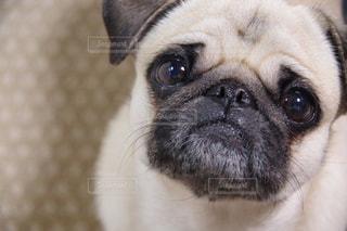犬の写真・画像素材[438107]