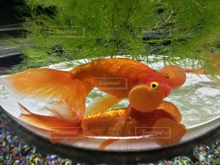金魚 - No.620860
