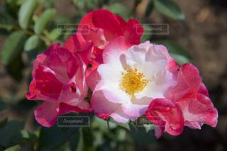 花の写真・画像素材[245329]