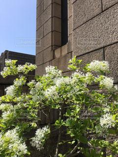 なじゃもんじゃの花の写真・画像素材[464081]