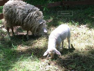羊の親子の写真・画像素材[507624]