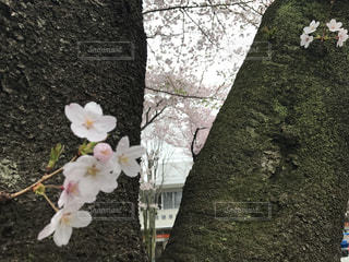 桜の写真・画像素材[429467]
