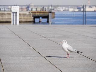 横浜 カモメの写真・画像素材[306894]