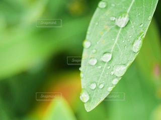 葉と水滴の写真・画像素材[379857]