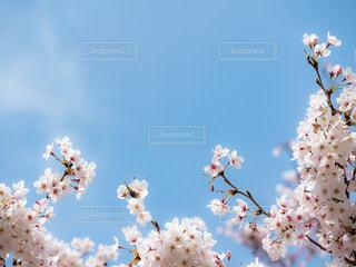 桜の写真・画像素材[421228]