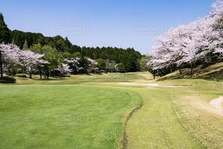 桜満開のゴルフ場の写真・画像素材[538331]