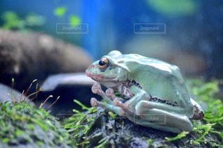 カエルの写真・画像素材[612208]