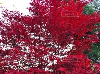 森の中の赤いツリーの写真・画像素材[265]