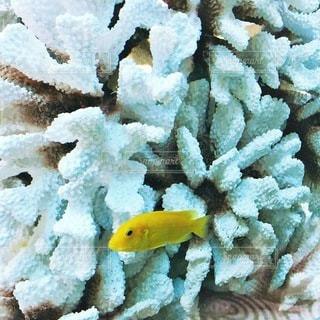 小さな黄色のサンゴの写真・画像素材[232]