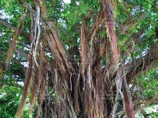 森の大きな木の写真・画像素材[204]