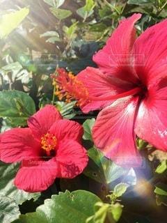 植物の赤い花の写真・画像素材[138]
