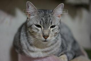 カメラを見ている猫 - No.824109