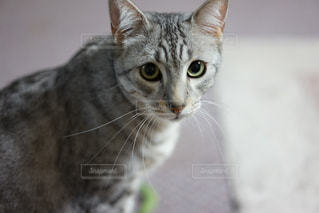 カメラを見ている猫の写真・画像素材[824113]