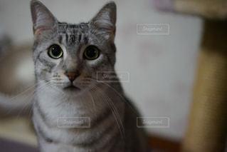 カメラを見ている猫の写真・画像素材[824114]